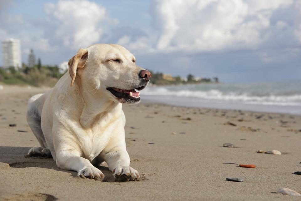 Care sunt cele mai comune trasaturi ale rasei Labrador?