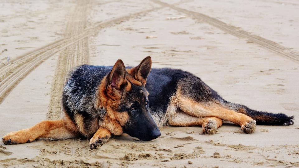Cele mai interesante lucruri pe care trebuie sa le afli despre ciobanescul german