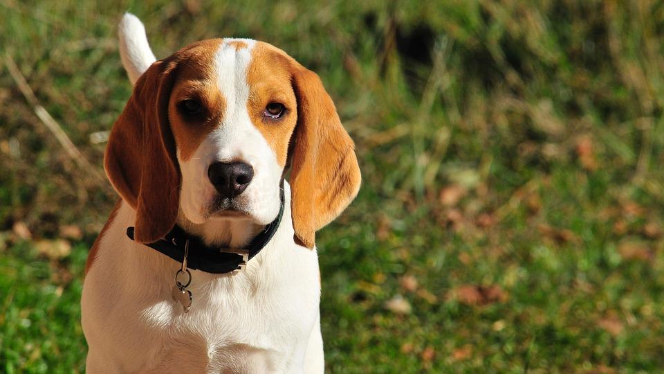 Ce trebuie sa stii despre Beagle?