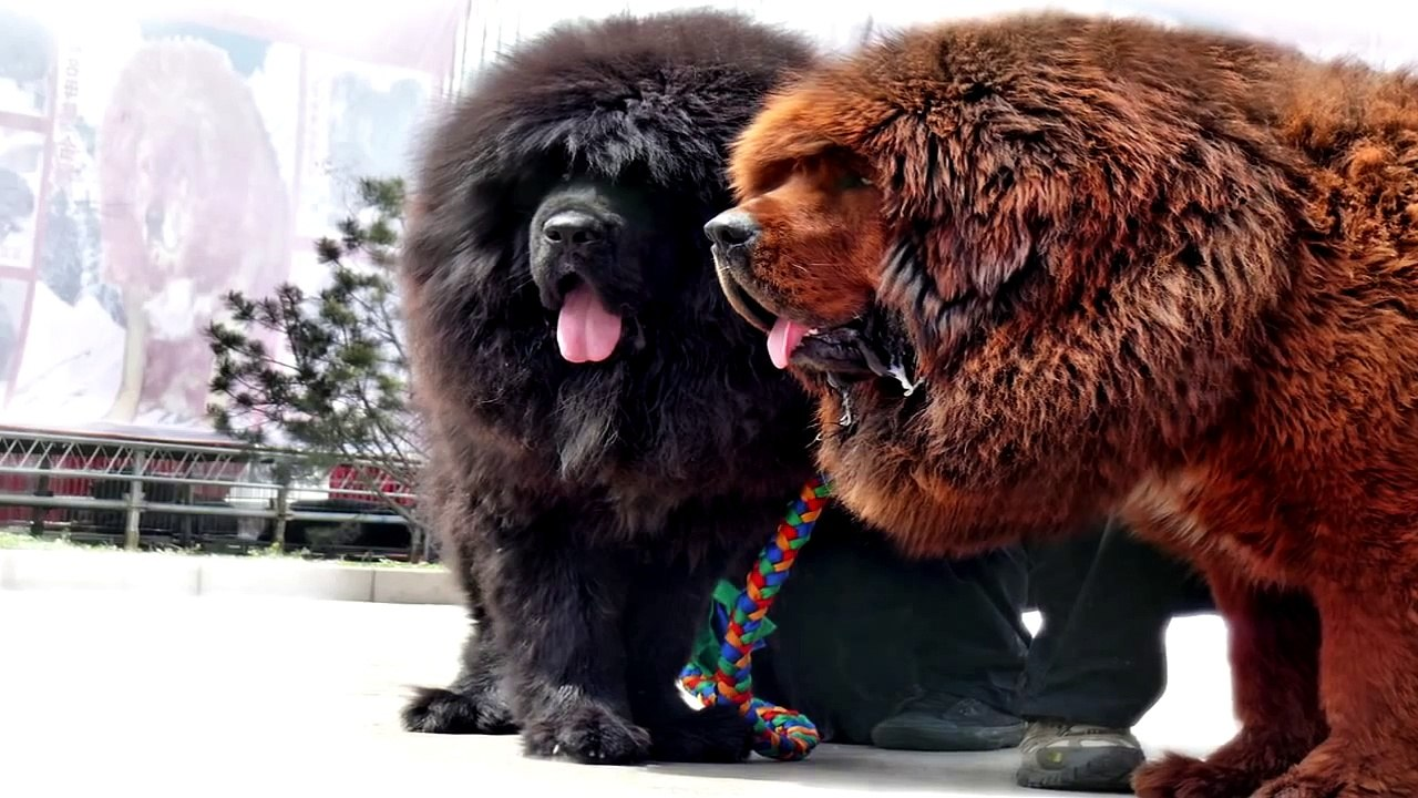 Ce lucruri nu stiai despre Mastiff Tibetan?
